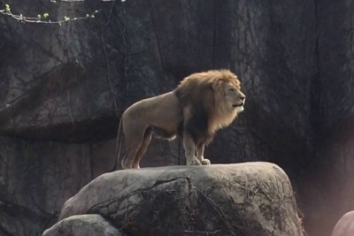 Lion Roaring At The Lincoln Park Zoo In Most Unusual Way