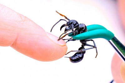 Guy Gets Stung By World's Most Painful Ant