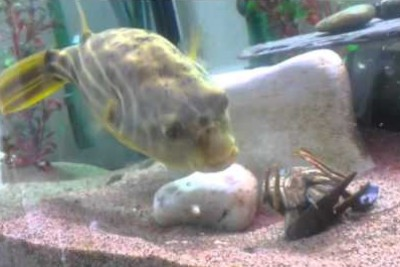 Freddy The Fahaka Puffer Fish Gets Pinched And Goes Nuts