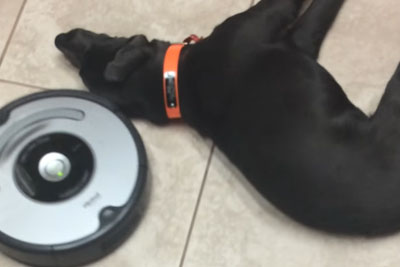 Lazy Dog Doesn't Care About Roomba Cleaning Robot