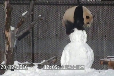 Video Of Toronto Zoo's Giant Panda Caught Playing With Snowman Goes Viral