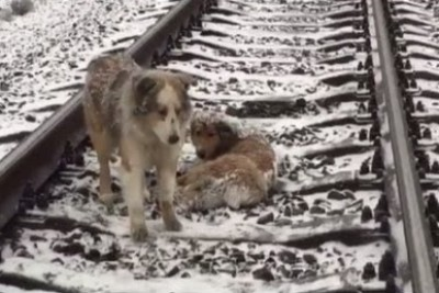 Dog Spends 2 Days Protecting Injured Pal Lying On Frozen Rail-Tracks