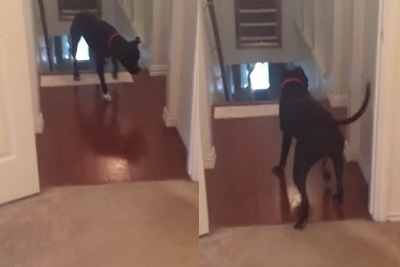 This Adorable Pit Bull Is Afraid Of Walking Through Doors So He Goes Through Them Backward