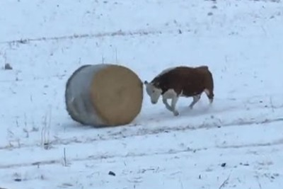 Funny Cow Pushes Hay Bale In Hereford Snow