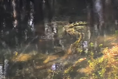 Watch A Python Fight And Strangle An Alligator In Big Cypress National Preserve On Florida