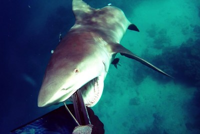 Agressive Bullshark Attacks Solo Spear Fisherman In Australia