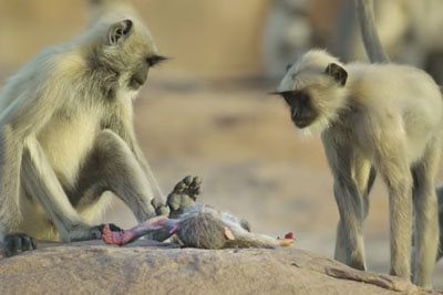 Fake Monkey Is Sent To Live With The Langur Monkeys, Then Something Touching Happens