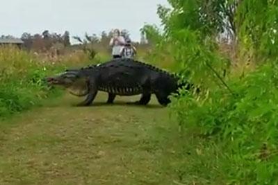 Giant Alligator Takes A Stroll Through Florida Nature Center