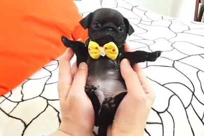This Little Pug Wearing A Bow Tie Is Just Too Cute To Ignore