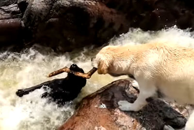 Amazing Dog Saves His Drowning Friend, Footage Is Now Going Viral