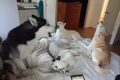 Footage Of Waking Up To Four Husky Dogs Is Now Going Viral