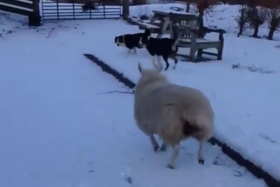 This Sheep Is Trying To Fit In And It's The Most Hilarious Thing