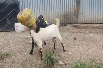 Two Goats Somehow Got Their Heads Stuck Into The Same Jar