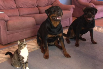 Meet A Funny Cat That Thinks She's A Rottweiler