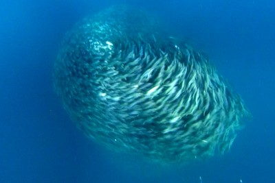 Small Fish Swim At Phenomenal Speed To Form Fish Bait Ball To Distract Hungry Predators