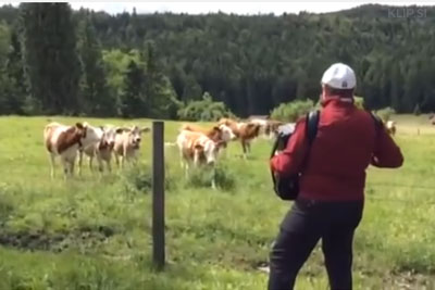 Turns Out Cows Are Big Fans Of The Accordion