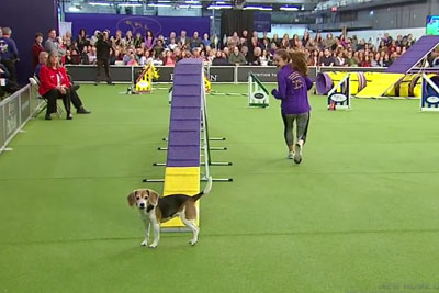 This Easily Distracted Beagle Won't Win A Dog Show Award, But She's Already Won Our Hearts