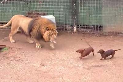 Lion And Wiener Dog Have Grown Up Together And Their Friendship Will Warm Your Heart