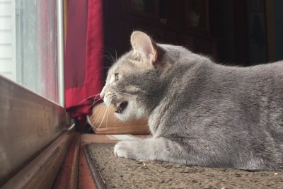 This Cat Mumbles To Himself While Hunting Birds On The Patio