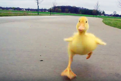 This Adorable Duckling Followed Him Every Single Morning, So He Took This Video