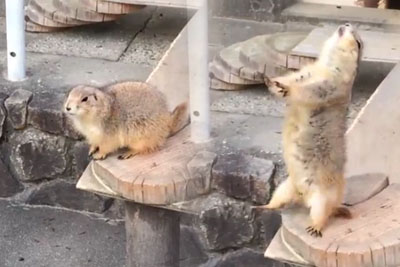 Epic Prairie Dog Reaction When A Human Sneezes