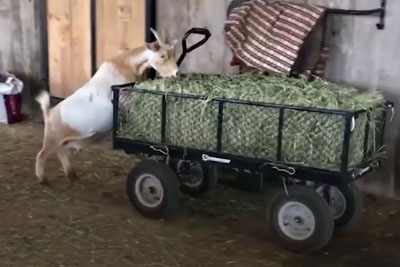 This Funny Goats Compilation Is The Best Thing You Will See Today