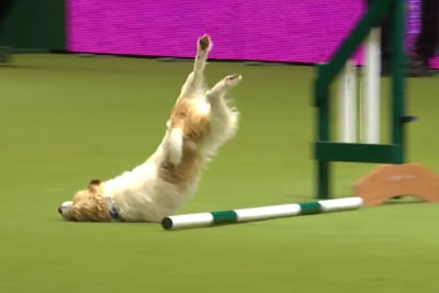 WATCH: Hilarious Jack Russell Goes Crazy With Excitement At Dog Show