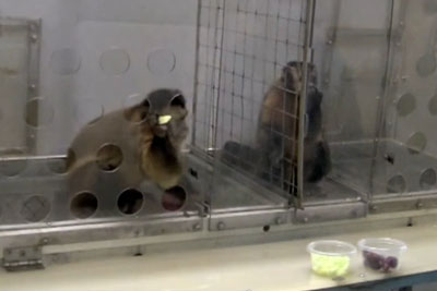 Watch What Happens When Two Monkeys Were Paid Unequally