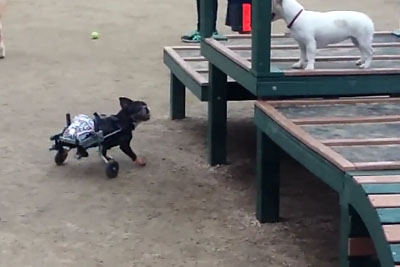 Dog With Paralyzed Legs Runs Faster Than Other Dogs Using Custom Wheelchair