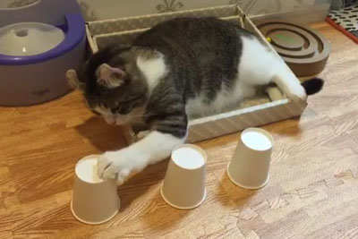 No Matter How Many Times The Cups Are Moved, This Cat Always Knows Which Cup The Ball Is In
