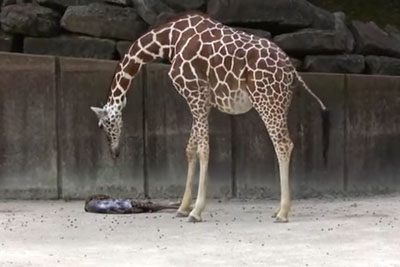 Mama Giraffe Waits For Exhausted Newborn Baby To Show Signs Of Life