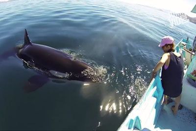 WATCH: Extra Playful Killer Whale Swims Up To Boaters To Say Hi