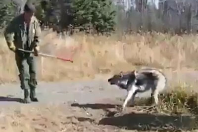 Good People Saving A Trapped Wolf Prove Humanity Still Exist
