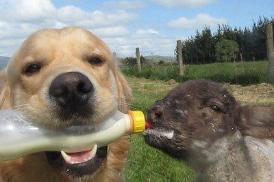 Dog Feeds His Baby Lamb While Holding Bottle With Milk