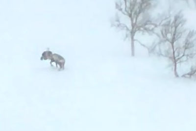 Dramatic Fight Between Wolverine And Reindeer Captured On Camera In Northern Norway