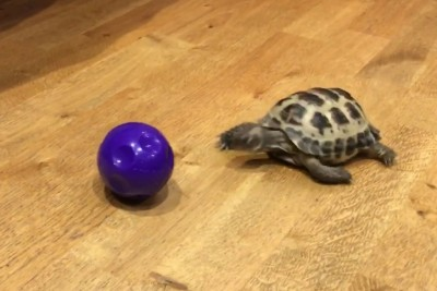 This Little Tortoise Chasing A Ball Thinks It's A Dog