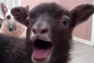 Lamb Saying Yeah! Becomes Latest Viral Sensation