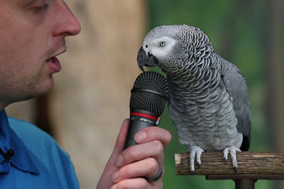 30 Year Old African Grey Parrot Knows An Insane Amount Of Voices