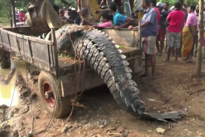 WATCH: This Massive Crocodile Is Rescued From A Canal And Released To The River