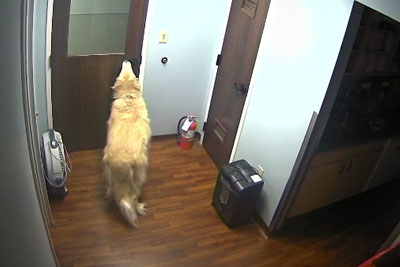 Unstoppable Dog Escapes Animal Hospital Opening Multiple Doors With His Snout