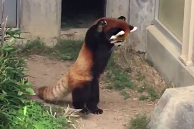 This Red Panda Trying To Intimidate A Rock Is The Cutest Thing You'll See Today