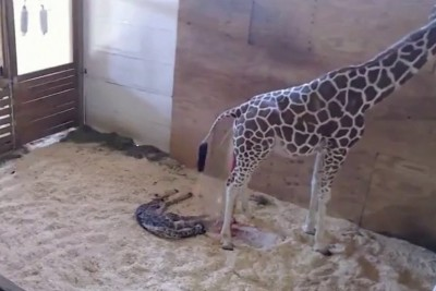 April The Giraffe Gives Birth At Animal Adventure Park In Harpursville, NY