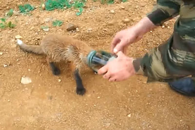 Baby Fox With Its Head Stuck In A Jar Approaches Two Men For Help