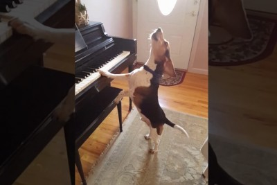 This Beagle Dog Really Enjoys To Sing While Playing A Piano