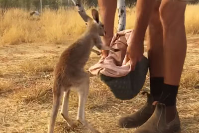 This Orphan Baby Kangaroo Would Really Like To Go In Her Pouch