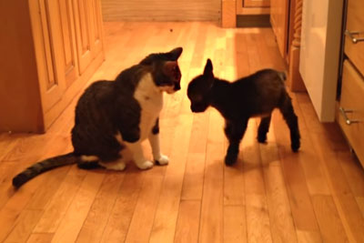 This Adorable Baby Goat Tries To Headbutt Cat