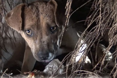 Homeless Pit Bull Gives Birth In A Den During A Massive Rainstorm, Gets Saved By Good People