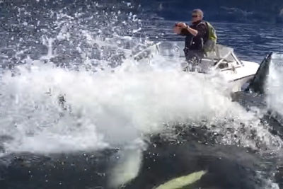 Boaters Caught In Middle Of Orca Whales Hunting A Sea Lion