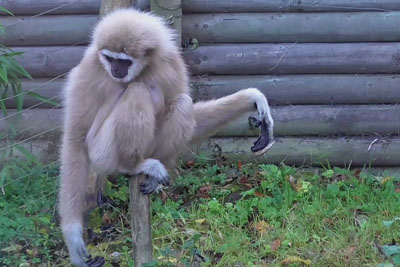 Gibbons Go Into Full Panic Mode When A Rat Scampers Through Their Enclosure