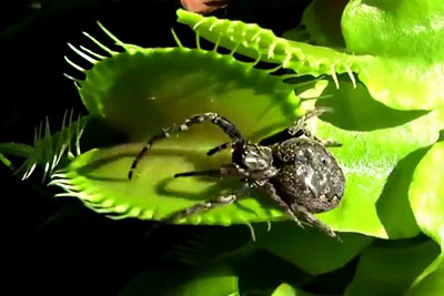 Footage Of Carnivorous Plant Eating Big Insects And Even Frogs
